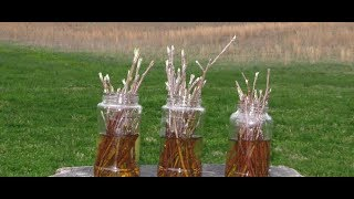 Download How To Grow An Entire Apple Orchard From Existing Tree Cuttings Video