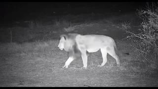 Download Djuma: Lion-Dark Mane Avoca male passing through - 23:19 - 09/06/19 Video