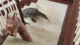 Download Squirrel in House-Lizard goes after Squirrel, then Eats It Video