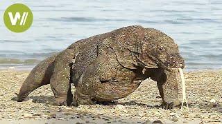 Download Der Komodowaran - riesige Giftschlange auf Beinen (Tierdokumentation in HD) Video