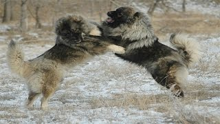 Download Caucasian Shepherd Dog vs Wolf (Documentary in HD!!!) Video