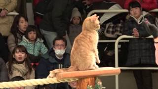 Download なかなか見れない猫によるショー ザ・キャッツ 那須どうぶつ王国へ行って来ました! 2017年2月4日 Video