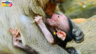 Download Oh! Why? Why Dana monkey don't want newborn baby milk her |Dana not a good mother |Monkey Daily 312 Video