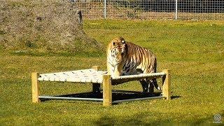 Download Tiger VS Bed Video
