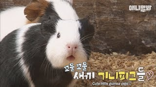 Download Hey there nanny, Show us those guinea pigs! Video