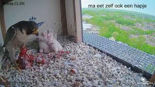 Download Slechtvalk | Paartje slechtvalken in Breda Video