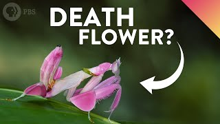 Download Why Do These Deadly Insects Look Like Flowers? Video