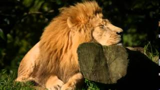 Download African Wildlife Sounds, Wildlife Noises, Elephant and Lion Sounds, Wilderbeest and Zebra's Video