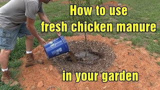 Download How to use fresh chicken manure in your garden and chicken update Video