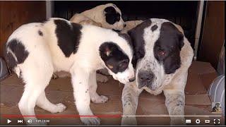 Download ОГРОМНЫЙ АЛАБАЙ Алан и его ДЕТИ.Huge security dogs Alabai.Odessa. Video