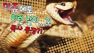 Download 더쥬에 갑자기 찾아온 독사!! Video