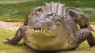 Download Giant saltwater crocodile charges park workers - no comment Video
