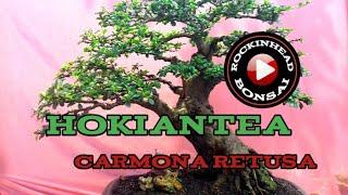 Download Bonsai hokiantea ( carmona retusa ) Video