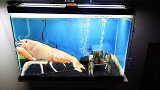 Download My GIANT lobsters battle it out in their new tank. Video