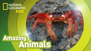 Download Christmas Crab 🦀 | Amazing Animals Video