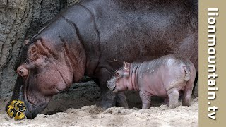 Download Lion catch baby Hippo and Mom gets him back | RAW & REAL CITA Video