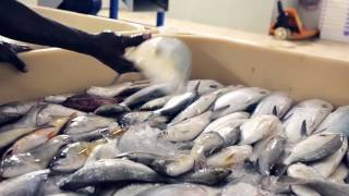 Download Sustainable management of the marine fisheries in Sudan Video
