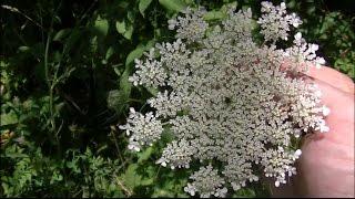 Download 36 Wild Edibles & Medicinal Plants In 15 Minutes Video