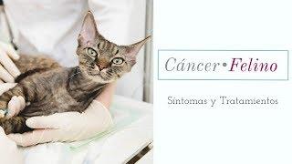 Download Cáncer en gatos |Síntomas y Tratamientos| Video