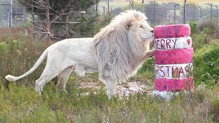 Download Never Invite BIG Cats to Christmas Parties! Video