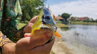 Download Black Peacock Bass | Monster Mike Fishing Video