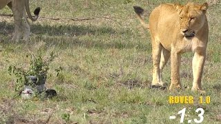Download Rover cam meets the lions! Video