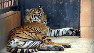 Download Amputee Tiger Saved From Poachers | Tigers About The House: What Happened Next | BBC Earth Video