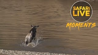 Download Baby Wildebeest Almost Becomes the First Victim of the Mara River Video