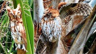 Download Transformer Owl - The Original Documentary Video