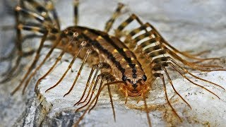 Download Why You Should Not Kill House Centipedes Video