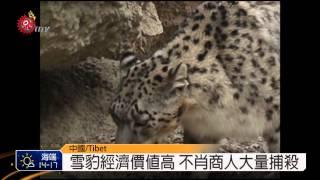 Download 銷聲匿跡一世紀 西藏聖獸雪豹現蹤 2014-10-09 TITV 原視新聞 Video