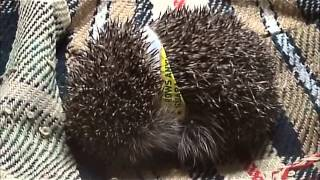 Download Hedgehog Street: William Parsons from Plymouth highlights one of the common risks to hedgehogs. Video