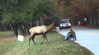 Download Elk vs. Photographer | Great Smoky Mountains National Park Video