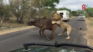 Download Lions Attack Buffalo Meters From Tourists Video