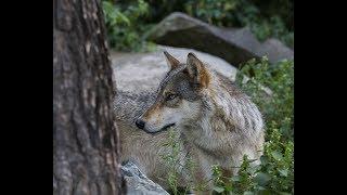 Download International Wolf Center - Webcams Video