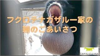 Download 【天王寺動物園】フクロテナガザル一家の朝のごあいさつ170119 Video