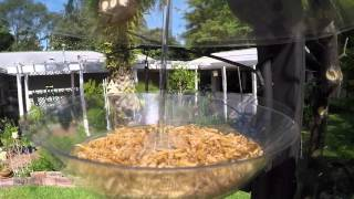 Download Roasted and Live Mealworm feeding in NW Gainesville Video