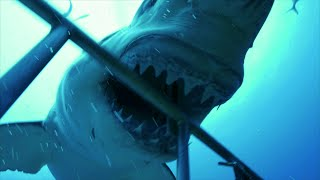 Download These Shark Cage-Divers Never Saw This Coming! Get A Sneak Peek At Shark Week 2017! Video
