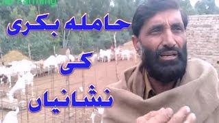 Rajan Puri goat farm | how to make it more profitable | bakri farm