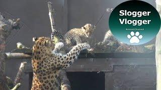 Download Amur Leopard Mum Doesn't Want Cub To Climb Video