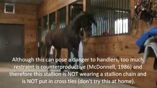 Download Stallion Behavior - Redirected Behaviour / Self Mutilation / Aggression in horses Video