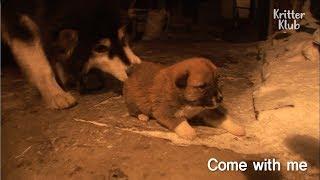 Download Alaskan Malamute Steals Puppies   Kritter Klub Video