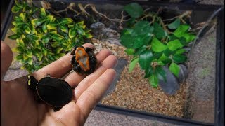 Download 2 NEW RARE BABY TURTLES.... Video