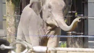 Download 京都市動物園 吠えて走る象 鳴き声 走る 怒る Video