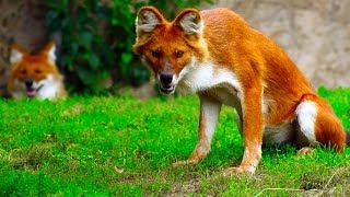 Download 10 Strangest Wild Dog Breeds Video