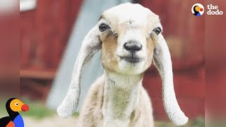 Download Rescued Goat Found Frozen To The Ground Meets Santa   The Dodo Video