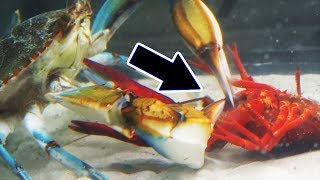 Download Will it survive? Watch what happens when you mix CRAWFISH with a GIANT crab Video