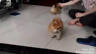 Download Bán chó phóc sóc tại Đà Nẵng Video