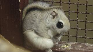 Download エゾモモンガの滑空訓練~Russian flying squirrel,Practice which flies Video