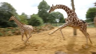 Download Giraffes walk, gallop and play at ZSL Whipsnade Zoo Video